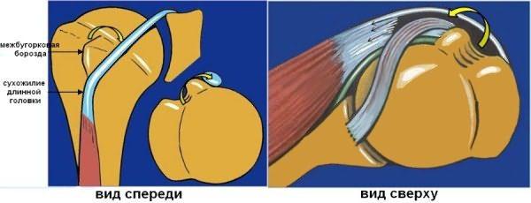 Сухожилия