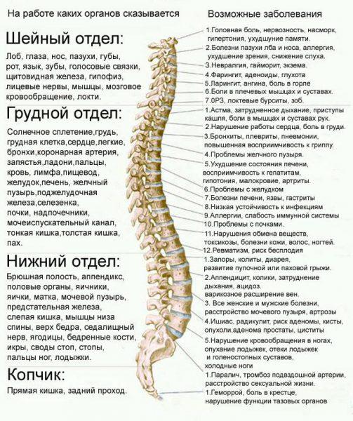 Отделы позвоночника и физиологические изгибы